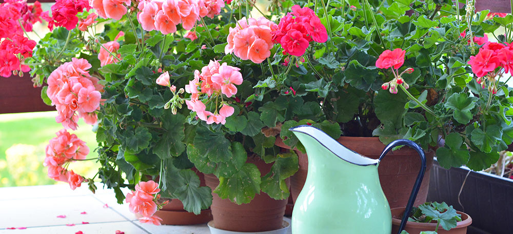 Pink flowers in pots next to a watering can