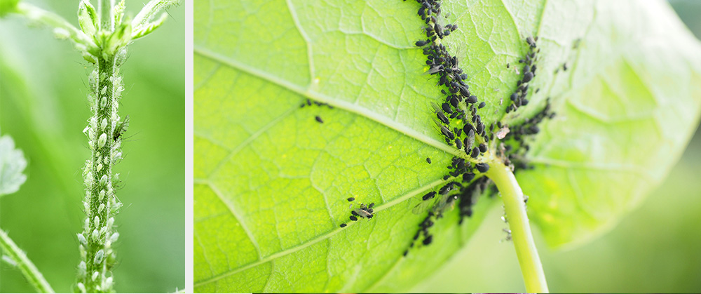 white and black aphids on plant stems