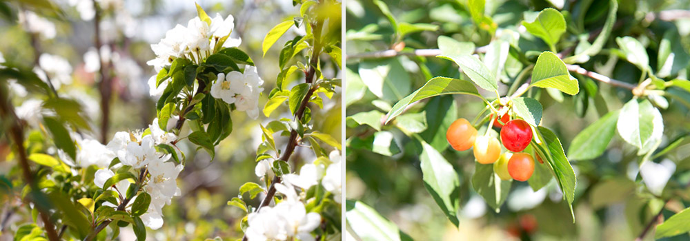 Apple blossoms and Evans Cherries
