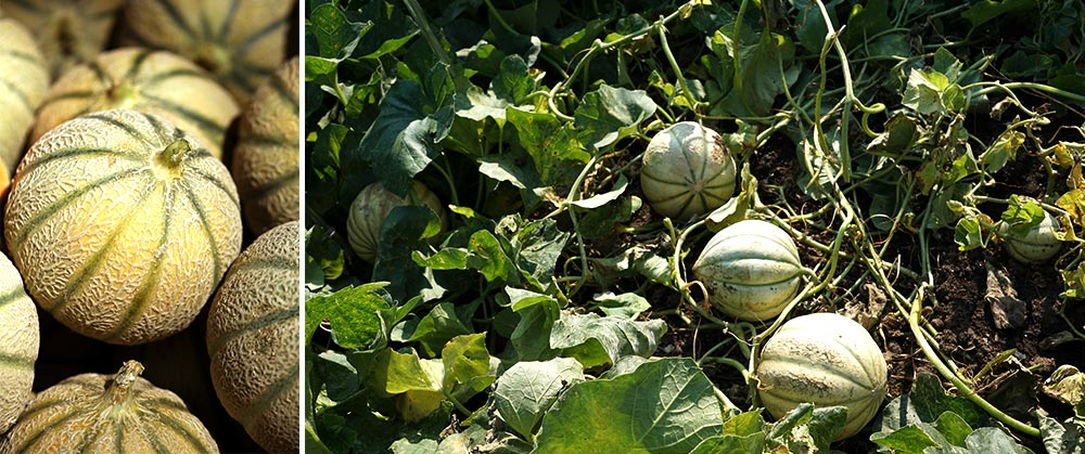 Muskmelon growing on vines