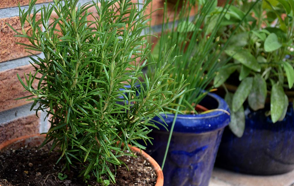 rosemary in brown pot