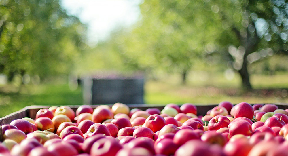 red apples in a large bin