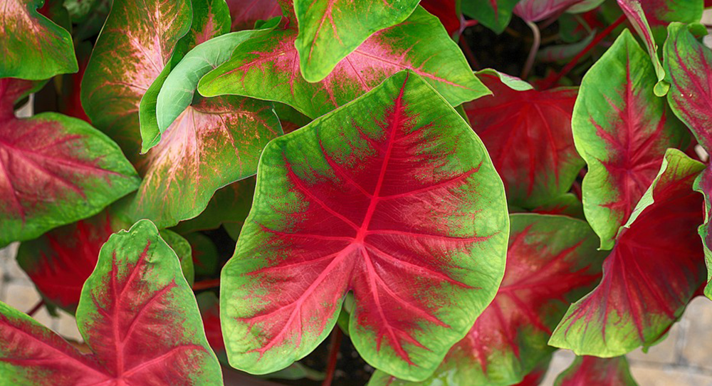 red and green tropical caladium