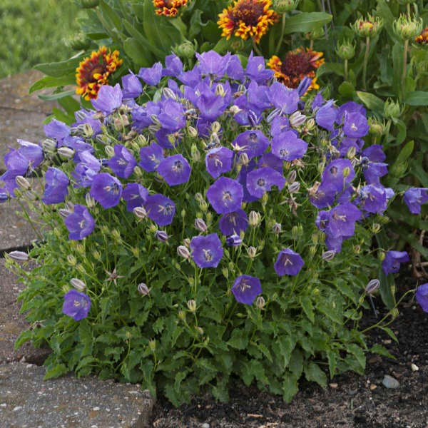 Bellflower, Campanula 'Pearl Deep Blue'