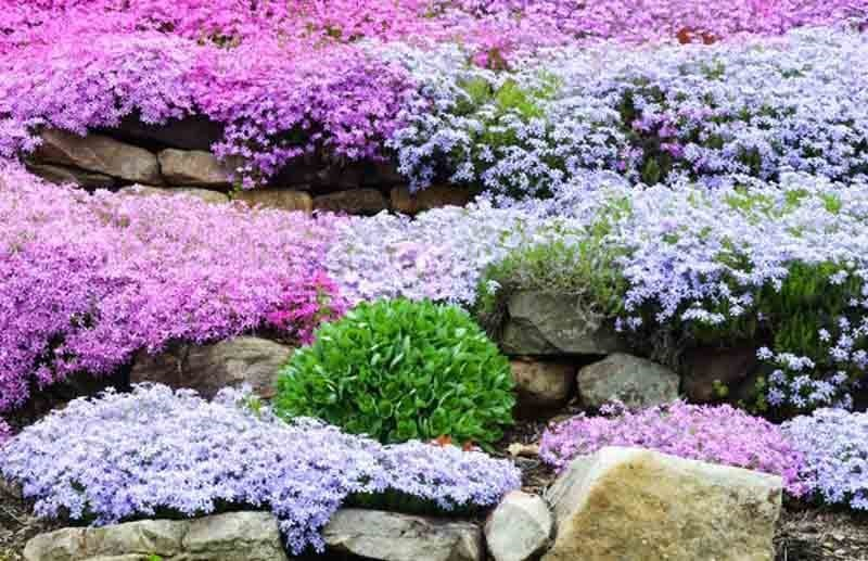 Creeping Phlox, Candy Stripe