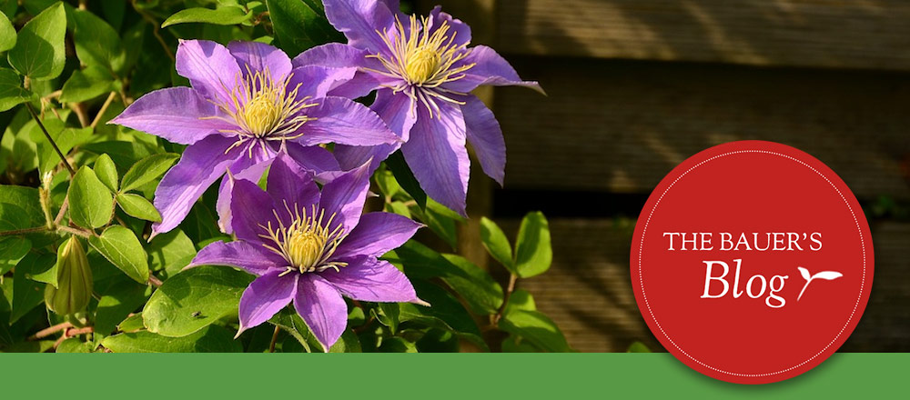 How to Plant & Prune Clematis
