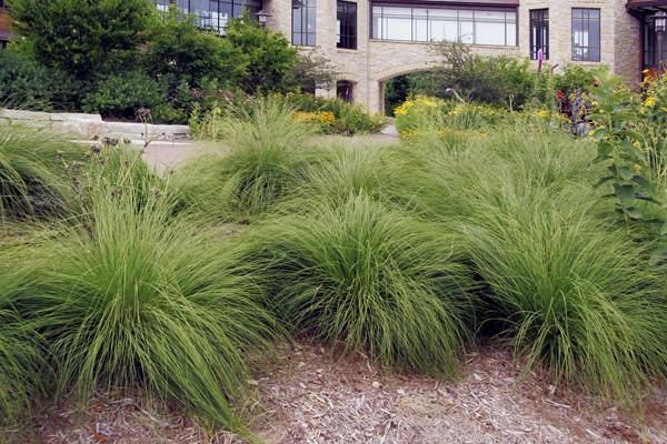 Prairie Drop Seed Grass